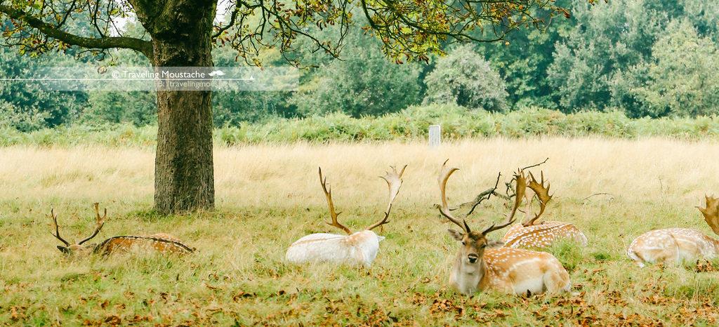 英國旅遊|在倫敦遇見非洲大草原:Richmond Park 追鹿去
