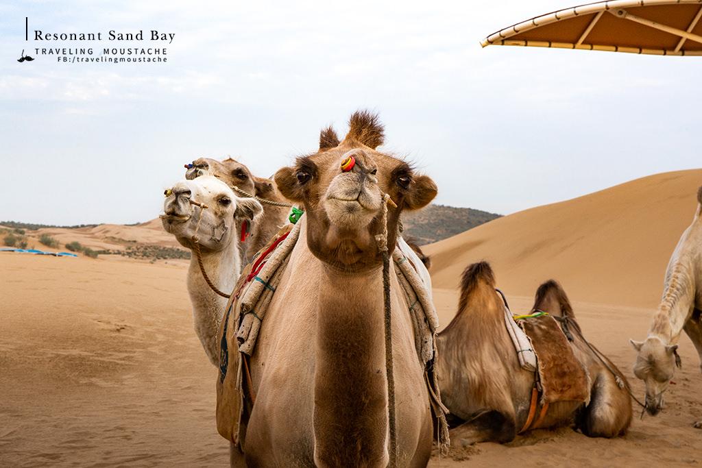 響沙灣-駱駝